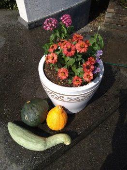自宅で採れたかぼちゃを飾りました